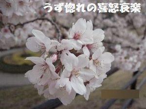 26 桜の花アップ写真.JPG